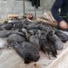 نسلکُشیِ سنگدلانۀ پرندگان در فریدونکنار، اشتغال است؟!